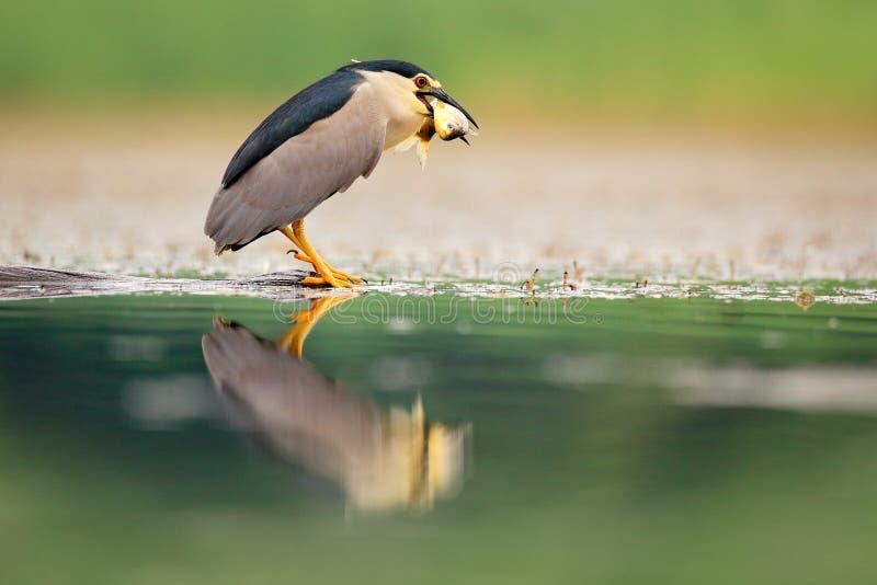Nachtreiger, grijze watervogel met vissen in de rekening, dier in het water, actiescène van Hongarije, aardhabitat stock foto's