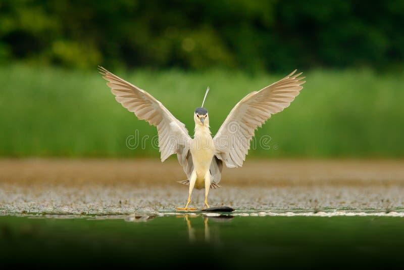 Nachtreiger, Nycticorax nycticorax, grijze watervogel met open vleugels het water Dier in de aardhabitat, Hongarije, Europa held stock afbeelding