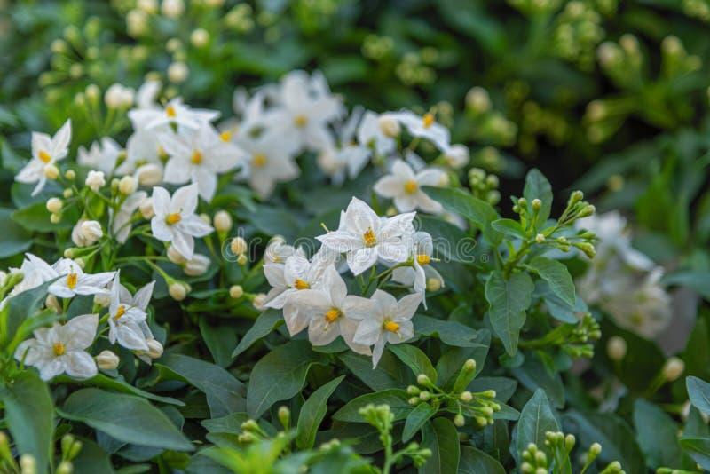 Nachtschatten laxum allgemein Kartoffelrebe, Kartoffelbergsteiger, Jasmin Nightshade Immergrüne dekorative Gartenpflanze für Gart stockbild