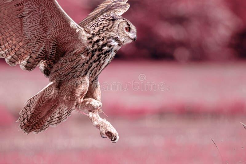 Nachtuil De visiebeeld van de uilnacht Infrarood beeld van Eagle-uil royalty-vrije stock foto