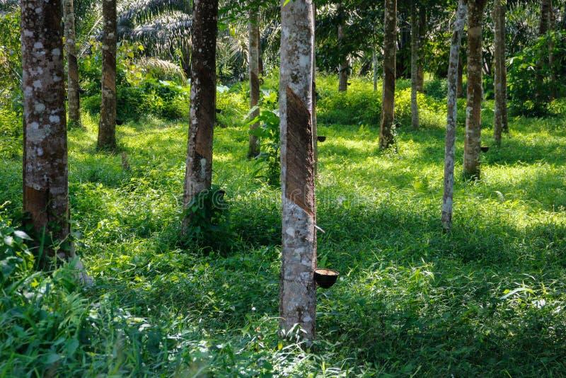 Nacięcie na bagażniku gumowego drzewa Hevea wzdłuż rynny z czego przepływy biała gumowa aprosza drzewo zdjęcie stock