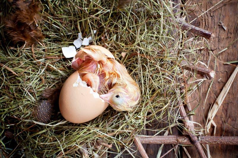 Nacimiento amarillo del polluelo fotos de archivo
