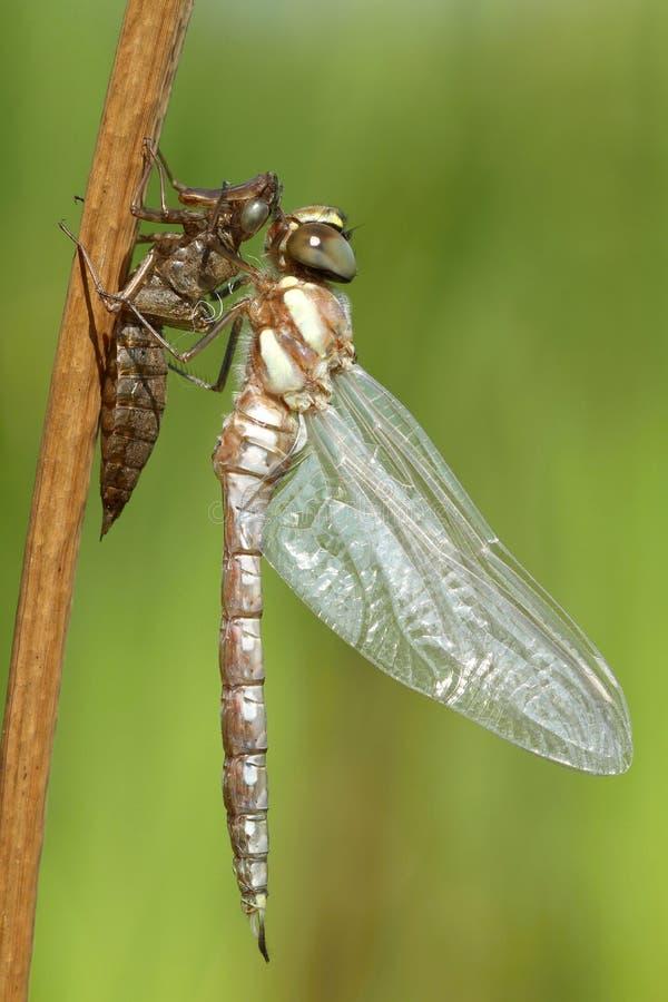 Nacimiento de la libélula foto de archivo libre de regalías