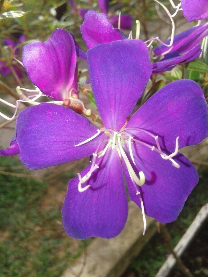 Nacional toda la flor en Sri Lanka fotos de archivo libres de regalías