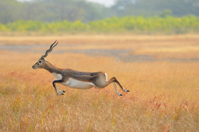 At nacional Velavadar Gujarat de Blackbuck ParkÂ, Índia de  fotos de stock royalty free