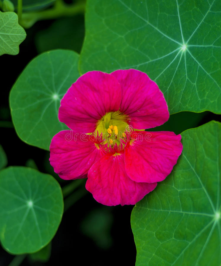 nacionalmente Flor comestible de la capuchina Flores de la capuchina imágenes de archivo libres de regalías