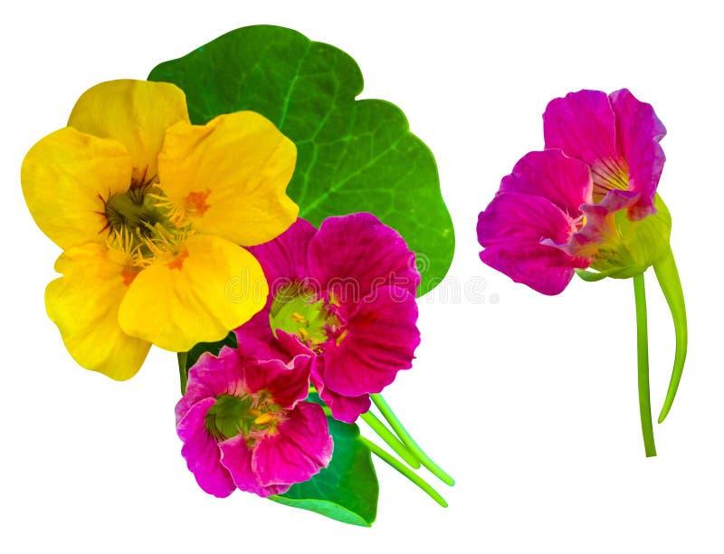 nacionalmente Flores de la capuchina Flores de la capuchina aisladas en w fotos de archivo libres de regalías