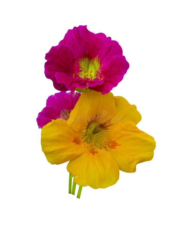 nacionalmente Flores de la capuchina Flores de la capuchina aisladas en w fotos de archivo
