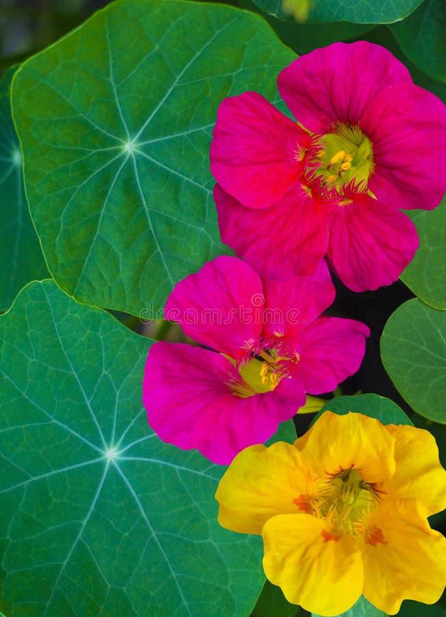 nacionalmente Flores de la capuchina Flor comestible de la capuchina imágenes de archivo libres de regalías