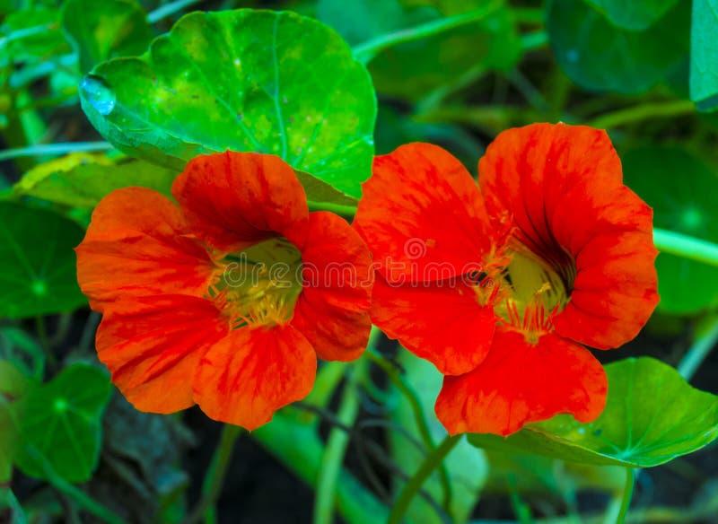 nacionalmente Flores de la capuchina Flor comestible de la capuchina imagen de archivo libre de regalías