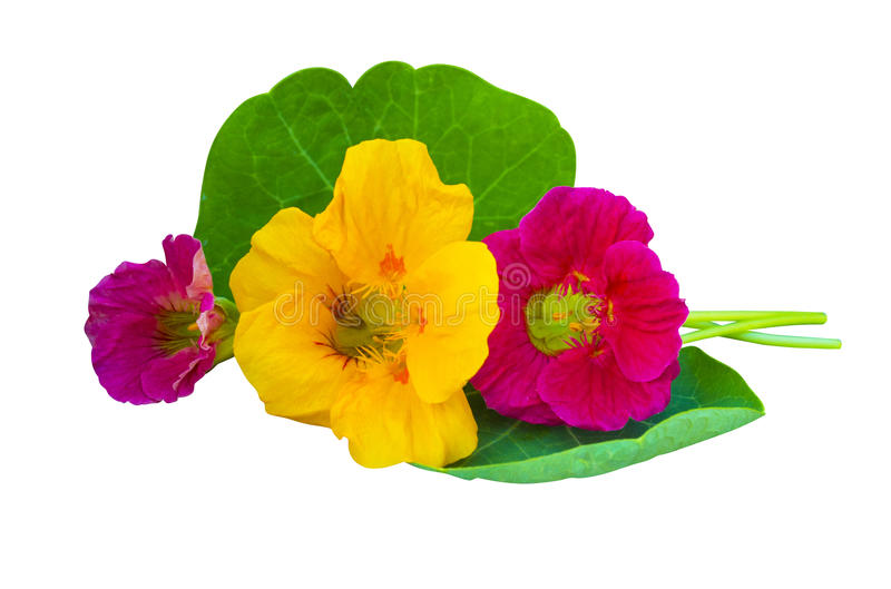 nacionalmente Flores de la capuchina Flores de la capuchina aisladas en w fotografía de archivo libre de regalías