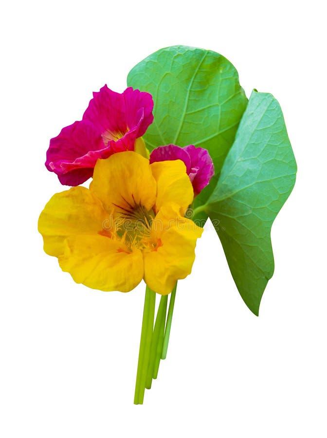 nacionalmente Flores de la capuchina Flores de la capuchina aisladas en w foto de archivo libre de regalías