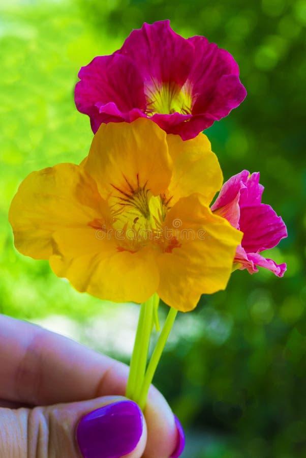 nacionalmente Flores de la capuchina Sistema de la flor de la capuchina foto de archivo libre de regalías