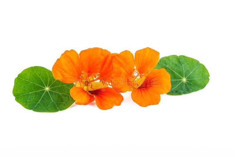 nacionalmente Flores del majus del Tropaeolum con las hojas verdes aisladas en blanco fotografía de archivo