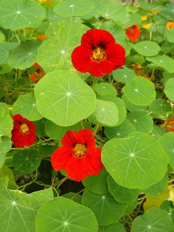nacionalmente Flores rojas del jardín fotos de archivo libres de regalías
