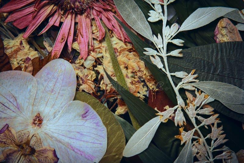 Naciskająca i susząca gerber wiosny lata jesień kwitnie na białym tle zdjęcie stock