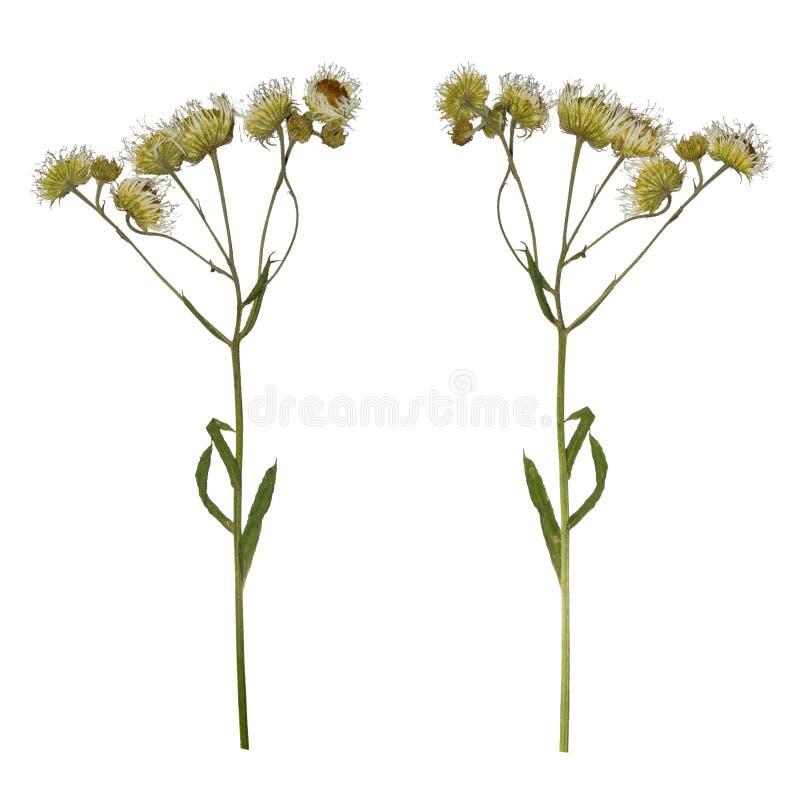 Naciskająca Wysuszona gałąź odizolowywająca chamomile lek Herbarium dzicy kwiaty zdjęcie royalty free