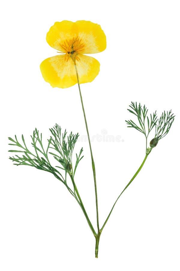 Naciskający i suszący delikatny kolor żółty kwitnie eschscholzia obraz royalty free