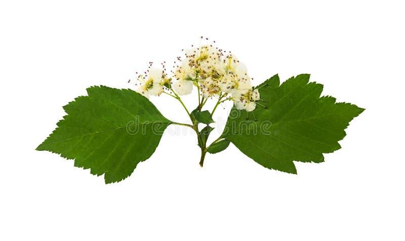 Naciskający i suszący delikatny kwiatu viburnum, odizolowywający obraz royalty free