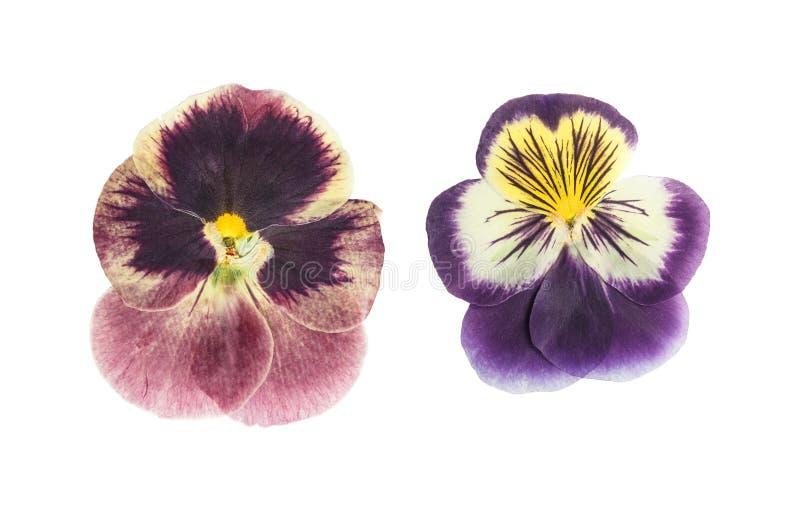 Naciskający i suszący kwiatów fiołki, odizolowywający na bielu obrazy royalty free