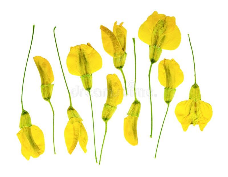 Naciskający i suszący kwiat karagany akacjowi arborescens, odizolowywający zdjęcie royalty free