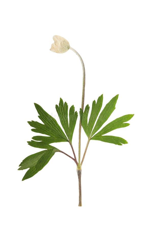 Naciskający i suszący kwiatu anemon, odizolowywający na bielu obrazy royalty free