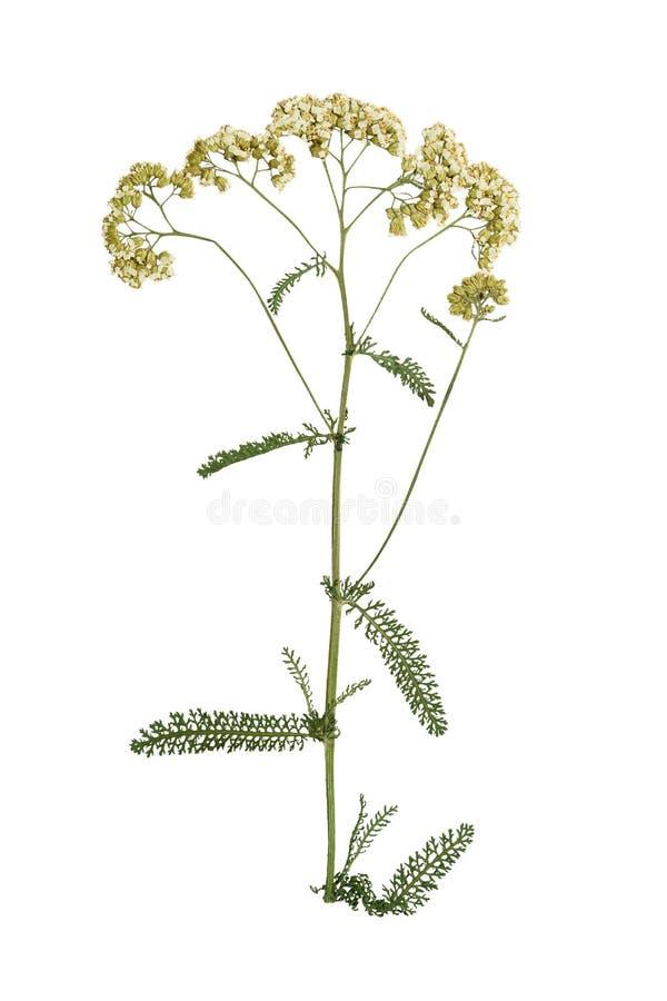 Naciskający i suszący kwiatu krwawnik pojedynczy białe tło obrazy royalty free
