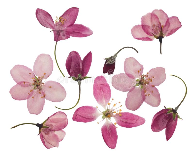 Naciskający i suszący kwiaty jabłko, odizolowywający na bielu obrazy royalty free