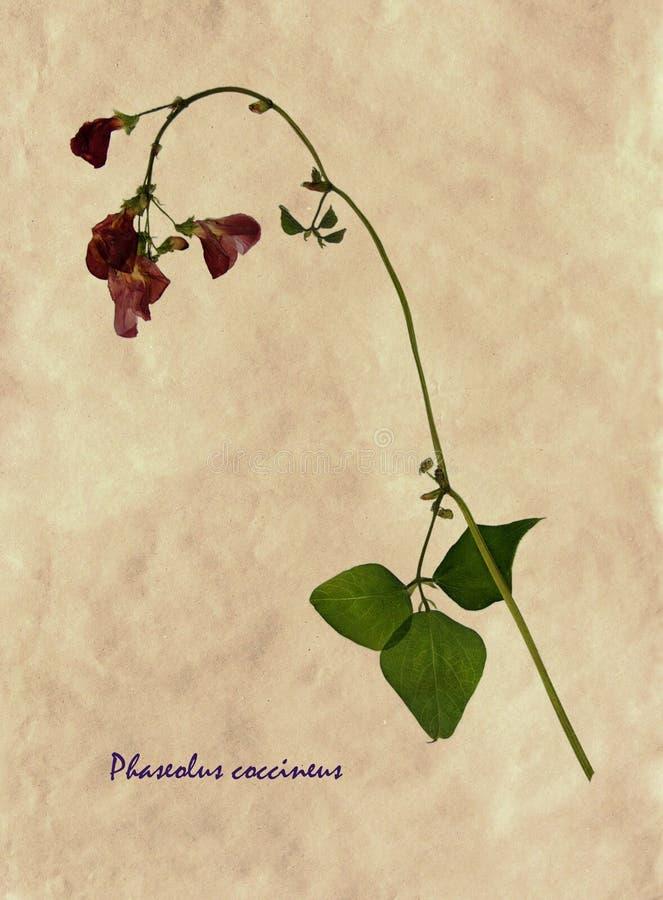 Naciskający i suszący kwiaty szkarłatnego biegacza fasola obraz royalty free