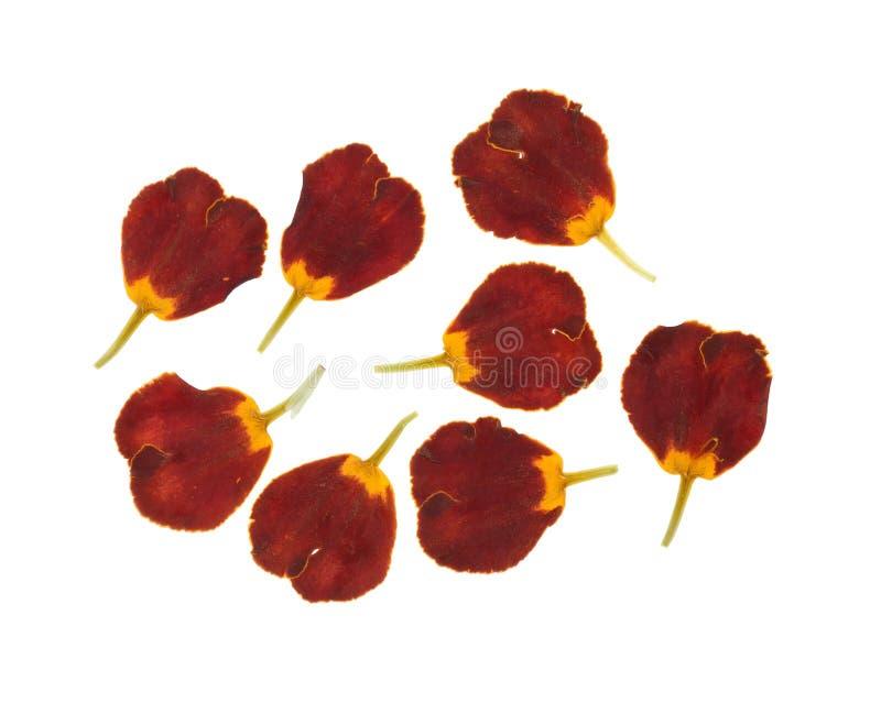 Naciskający i suszący ustaleni płatki kwiatów nagietki, odizolowywający na bielu fotografia stock