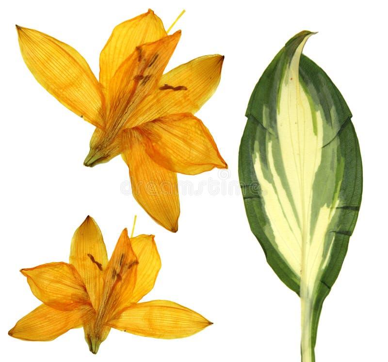 Naciskający pomarańczowi Lilly kwiaty, odosobneni na białym tle suchy l obrazy royalty free