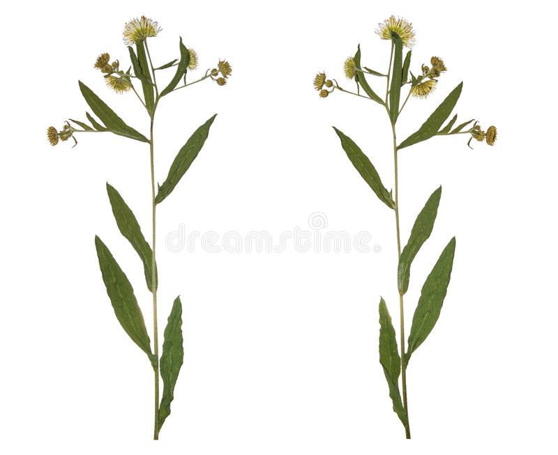 Naciskający Wysuszony gałęziasty wiosny pola kwiat Herbarium dzicy kwiaty zdjęcie royalty free