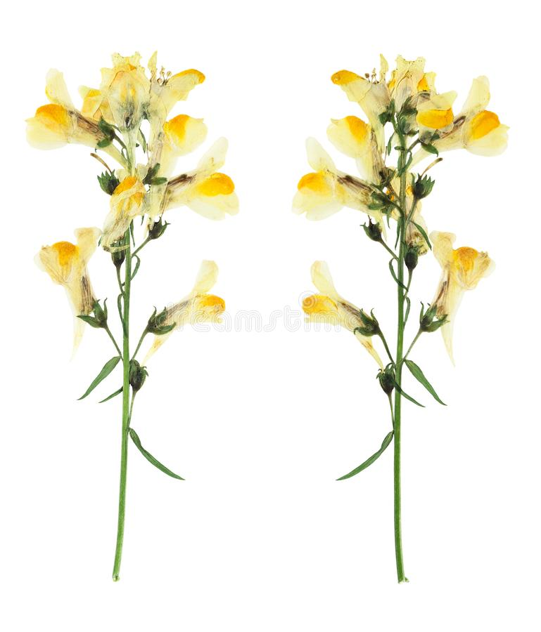 Naciskaj?cy i susz?cy delikatny kwiatu Linaria vulgaris obrazy royalty free