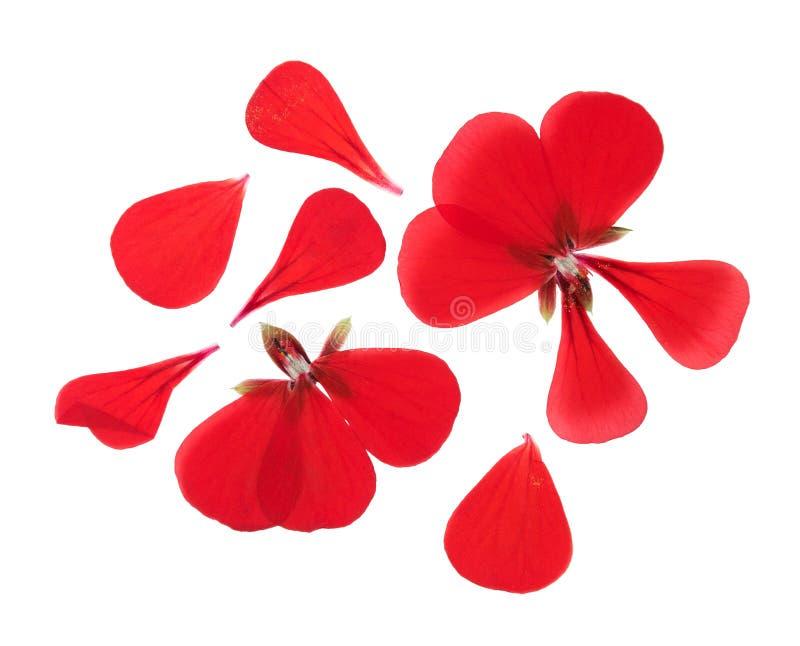 Naciskaj?cy i susz?cy r??owy delikatny przejrzysty kwiatu bodziszek zdjęcie stock