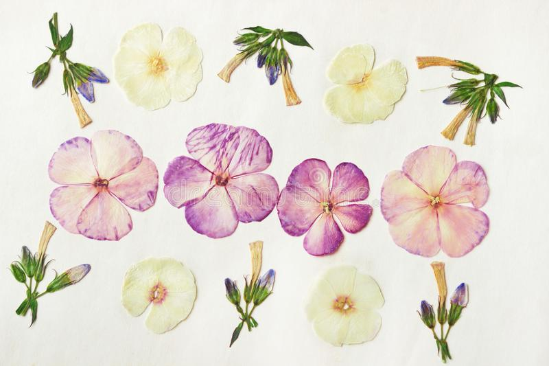 Naciskam suszył floksów kwiaty i pączki Kwiecisty tło, tło dla oshibana, scrapbooking, herbarium Duży set lasowy autum fotografia royalty free