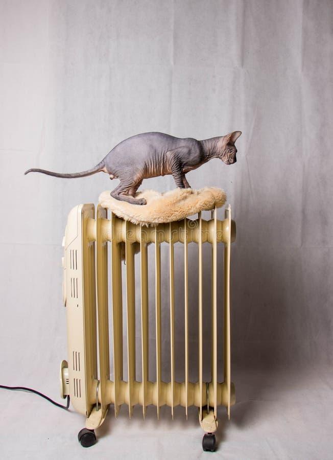 Nackte graue Sphinxkatze geht auf die Batterie stockfotos