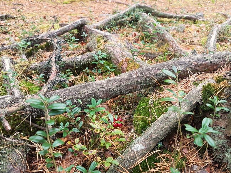 Naczynia drzewo obrazy stock