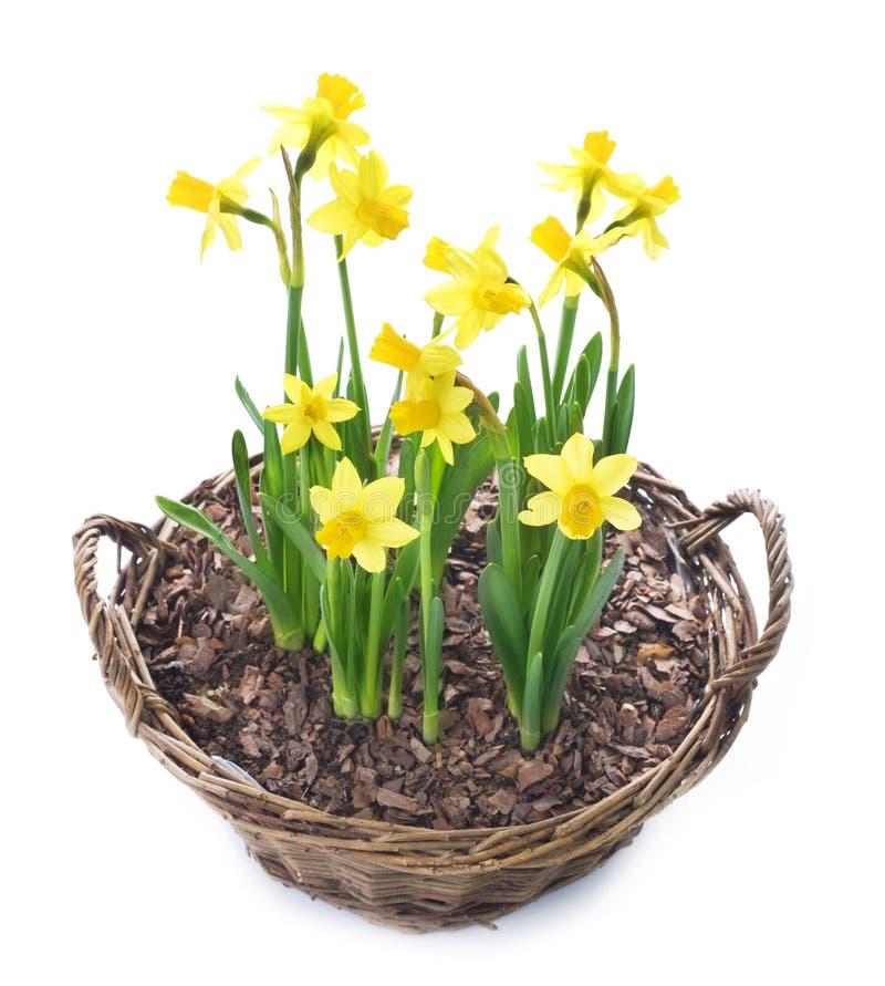 nad biel piękni daffodils fotografia stock