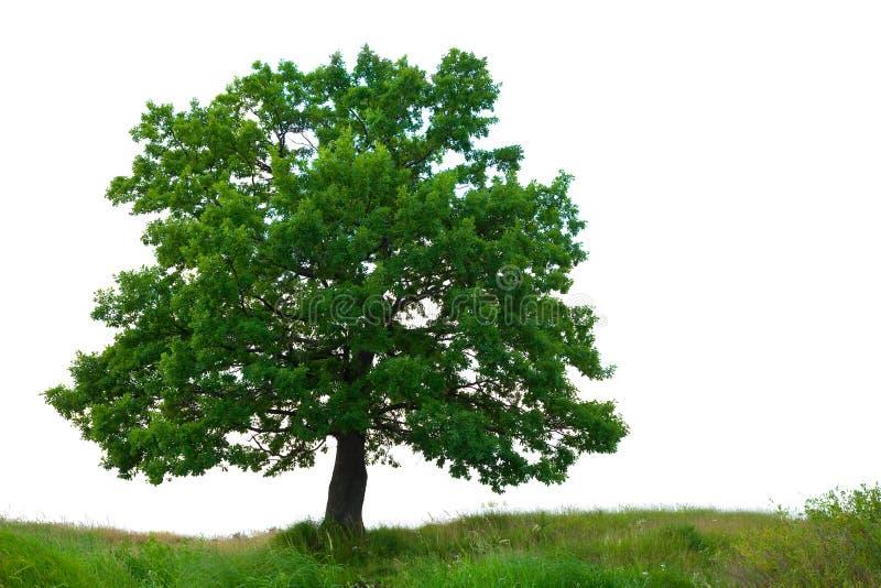 nad drzewnym biel tło dąb obraz stock