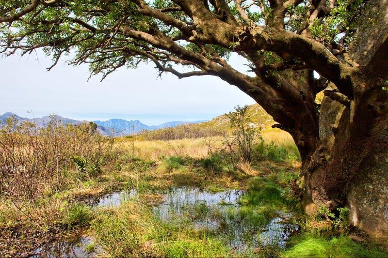 nad kałuży ogromny drzewo fotografia royalty free