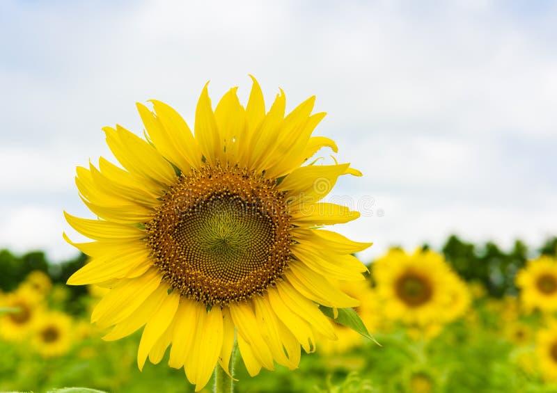 nad niebo słonecznikiem błękitny chmurny pole obraz royalty free