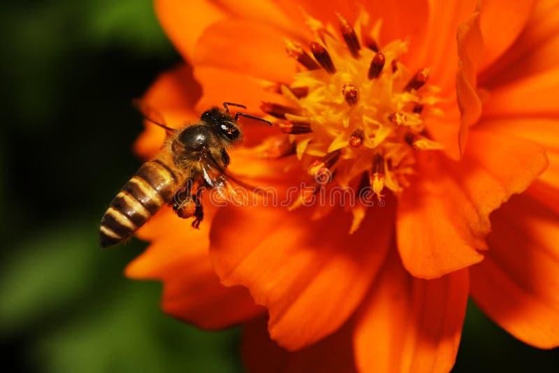 nad pszczół kwiatu latania target1936_0_ zdjęcia royalty free