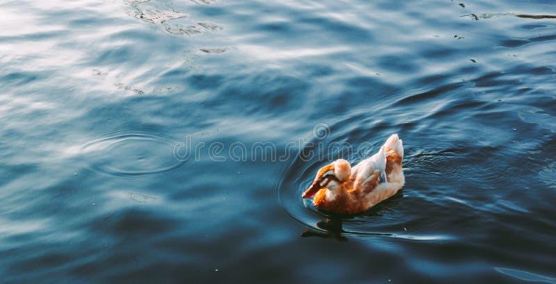 Nadada bonita do pato no lago fotografia de stock royalty free