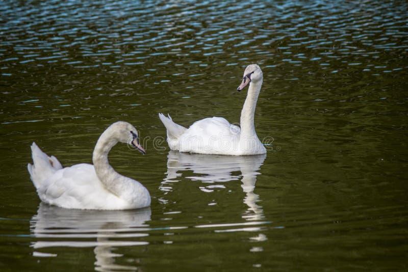 Nadada branca de duas cisnes na lagoa foto de stock