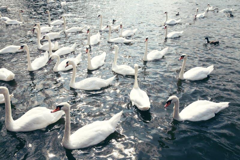 Nadada branca de muitas cisnes na água imagens de stock
