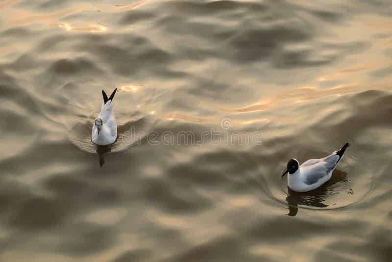 Nadada de dos gaviotas en el mar foto de archivo libre de regalías
