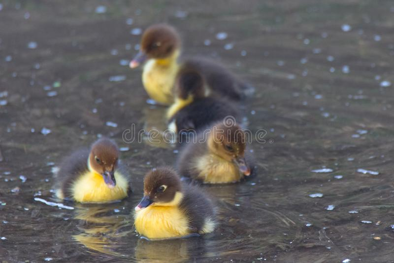 Nadada de Duck Puppies na água imagem de stock royalty free