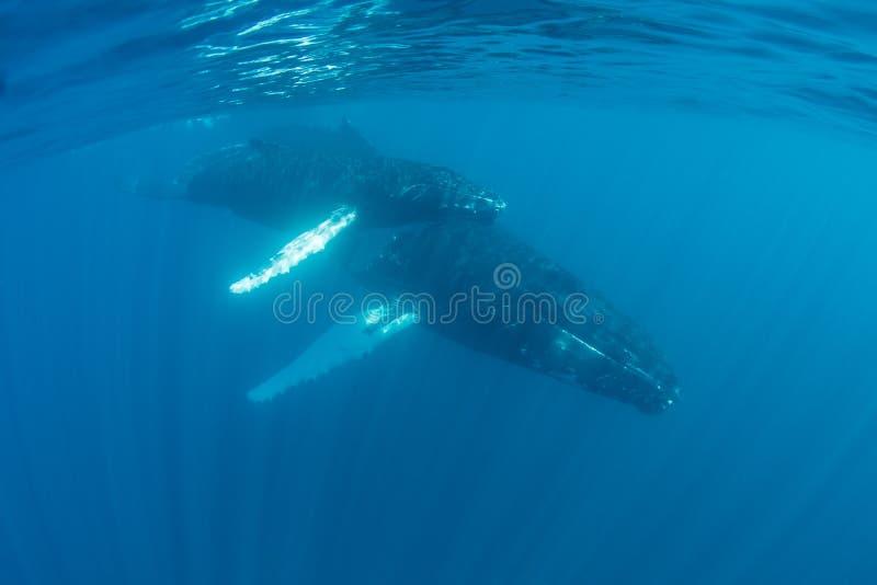 Nadada de las ballenas jorobadas en el mar del Caribe imagen de archivo
