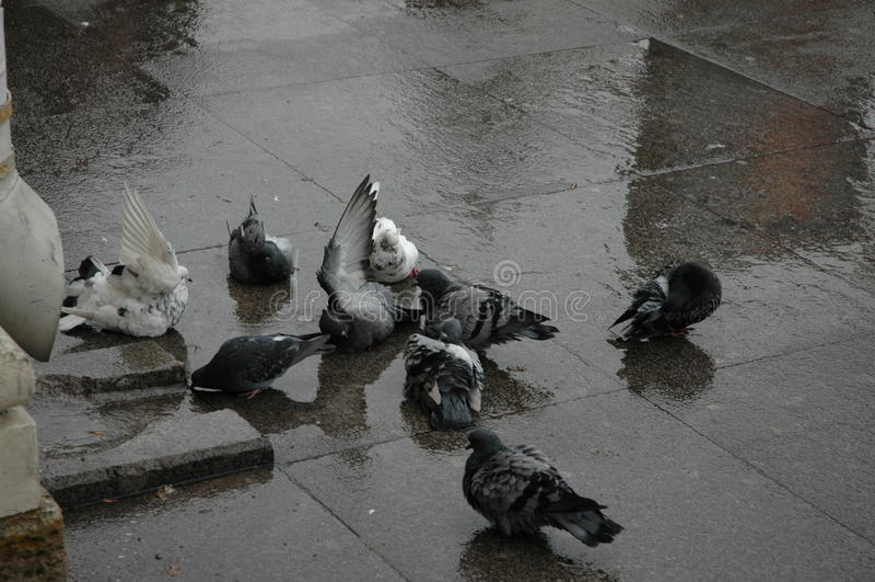 Nadada de las palomas en el charco imagen de archivo