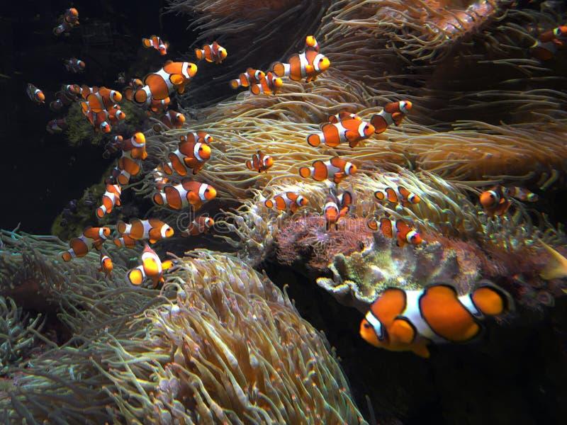 Nadada de los clownfish de Ocellaris en el mar de coral foto de archivo